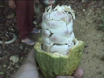 cocoa pod with beans exposed