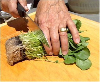cut roots off watercress