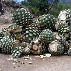 harvested agave hearts