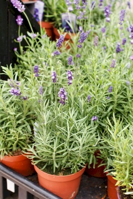 lavender in clay pots