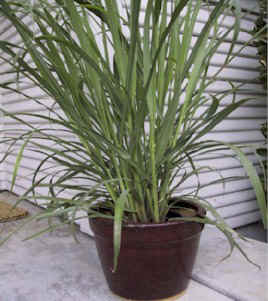 lemongrass grown in clay pot