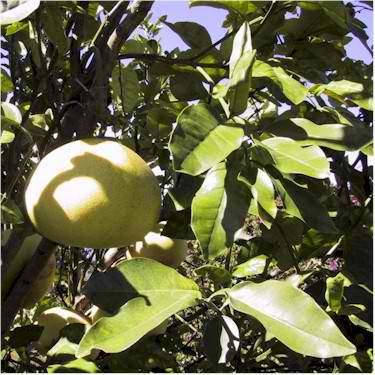 pomelo growing on tree