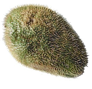 prickly chayote