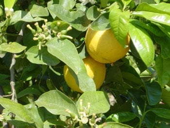 Bergamot orange : Substitutes, Ingredients, Equivalents