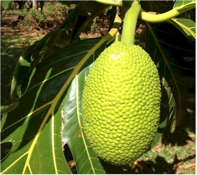 breadfruit-on-tree