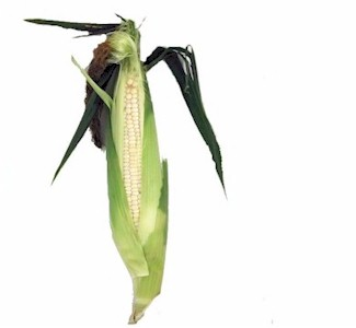 ear of white corn in husk