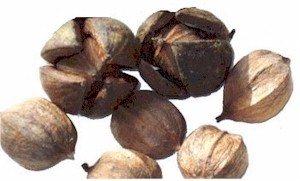 hickory nuts in shell