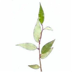 mexican bay leaf