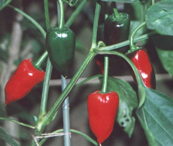 piquillo peppers