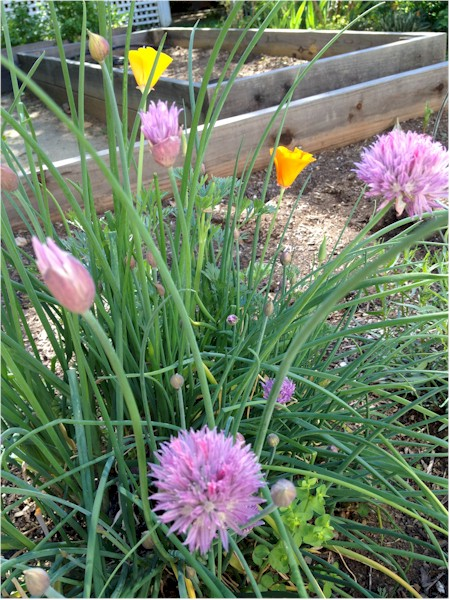 spring chives in garden bed