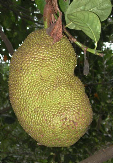 jackfruit hanging from tree