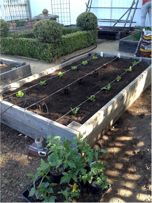 first lettuce planting 2015