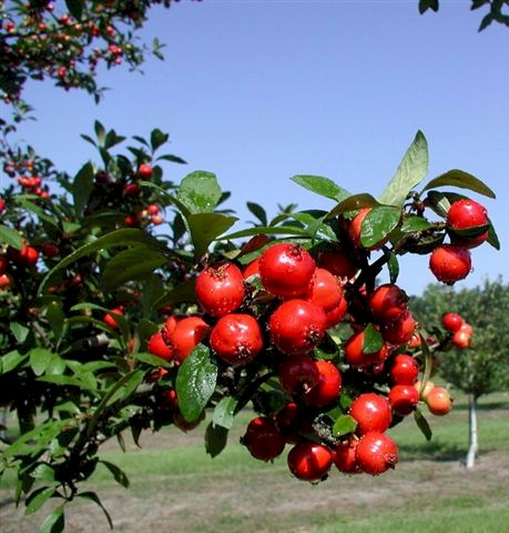 mayhaw-fruit-on-tree