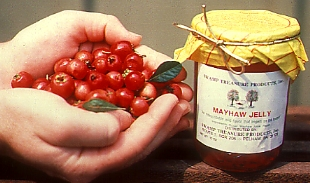 mayhaw berries in hand