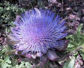 artichoke thistle in full flower