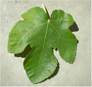 fig_leaves300.jpg
