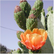 Prickly Pear (Tunas) In Bloom