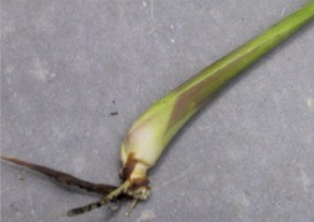 lemongrass stalk with root
