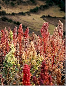 field of quinoa grain